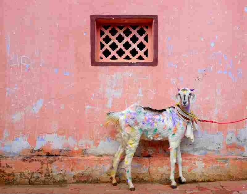 """At the New Year's festival of Pongal in South India, livestock gets a makeover. The photographer says: """"I met this colorful goat standing by a pink wall. It seems like an oil painting."""""""