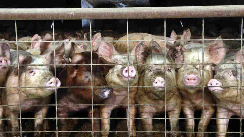 """Young pigs stare out of a pen at a hog farm in North Dakota. In coming months, consumers will start to see a new label on some packages of pork: Produced """"without the use of ractopamine."""""""