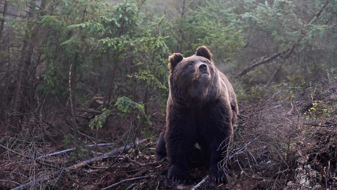 Home about wild heart ask tumblr weekly wild music - Drones Increase Heart Rates Of Wild Bears Too Much Stress All Tech Considered Npr