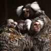 Chatty Marmosets Have Something To Say About Vocal Learning