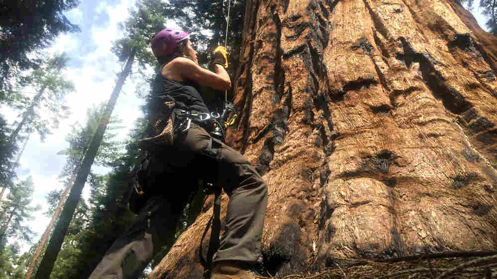 To Measure Drought's Reach, Researchers Scale The Mighty Sequoia