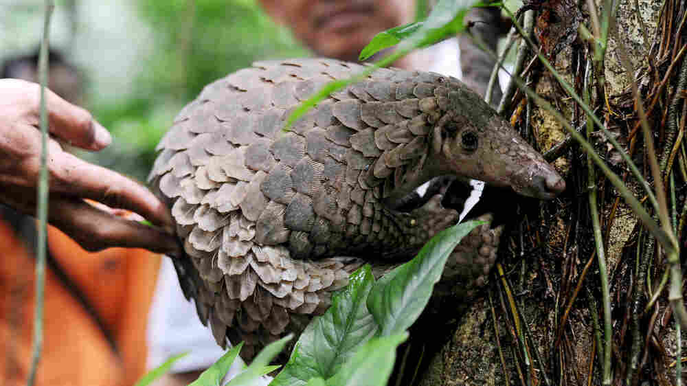 The World's Most Trafficked Mammal Is One You May Never Have Heard Of