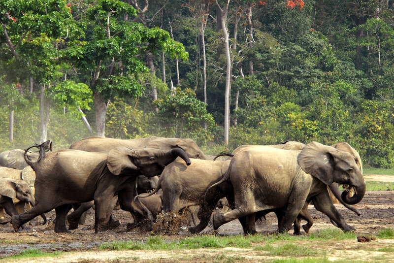 To Decode Elephant Conversation You Must Feel The Jungle Rumble Npr