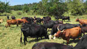 Cattle Theft: An Old Crime On The Rise
