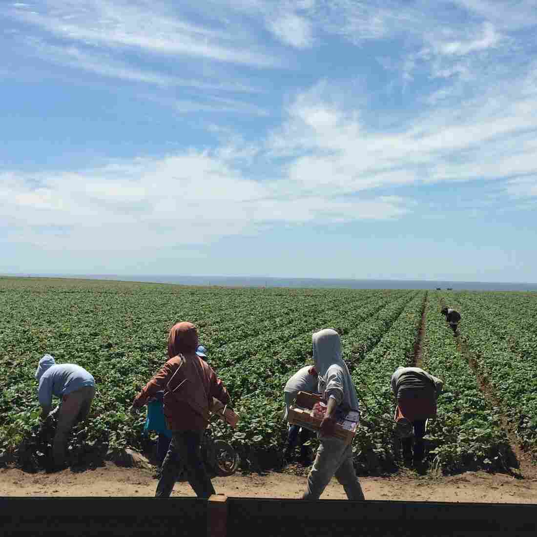 Farmworkers See Jobs, Earnings Shrivel In California Drought