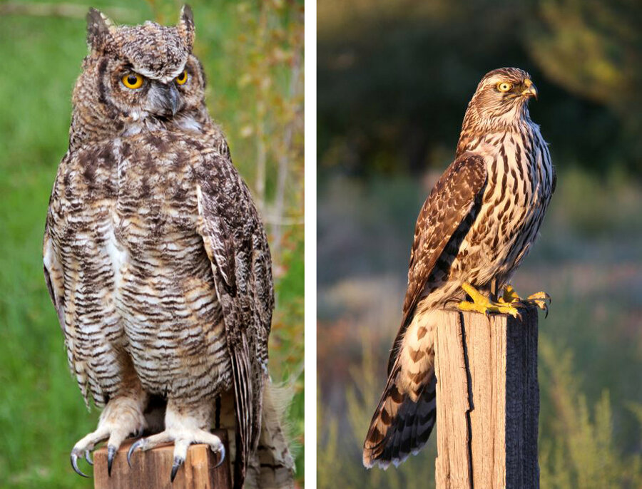 Barn owl | New Zealand Birds Online