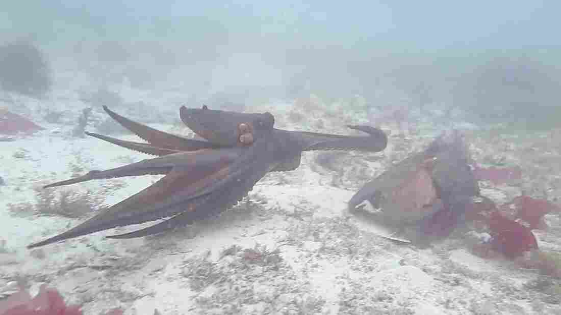 "Two octopuses going at it — or, as marine biologist Peter Godfrey-Smith might put it, engaging in a bit of ""ornery"" behavior."