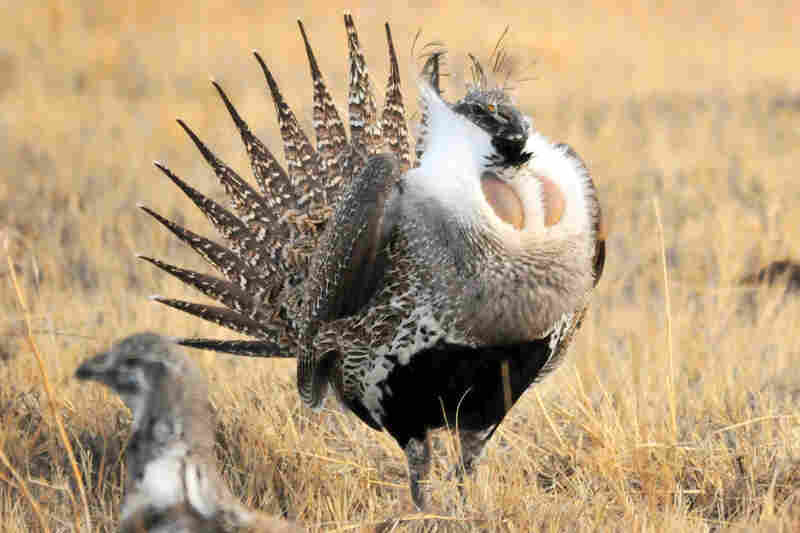 A male greater sage grouse inflates the yellow air sacs on his chest during a mating ritual at Seedskadee National Wildlife Refuge in Wyoming on Feb. 28.