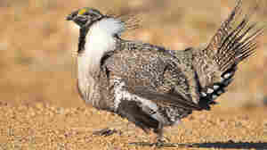 Fight To Save The Sage Grouse Finds Friends In All Corners Of The West