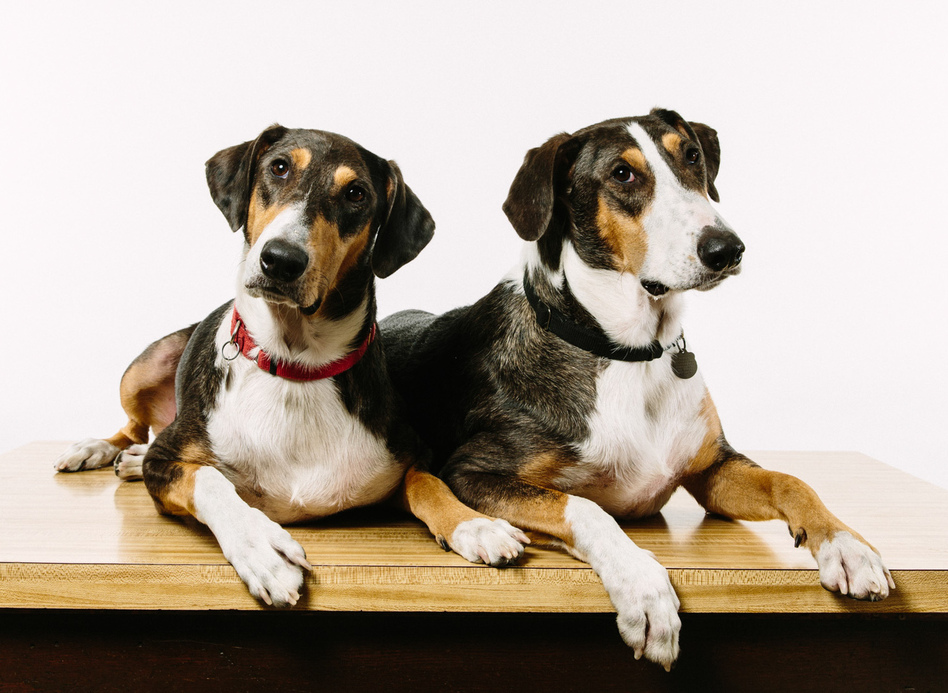 Ken (left) and Henry were created using DNA plucked from a skin cell of Melvin, the beloved pet of Paula and Phillip Dupont of Lafayette, La. (Edmund D. Fountain for NPR)