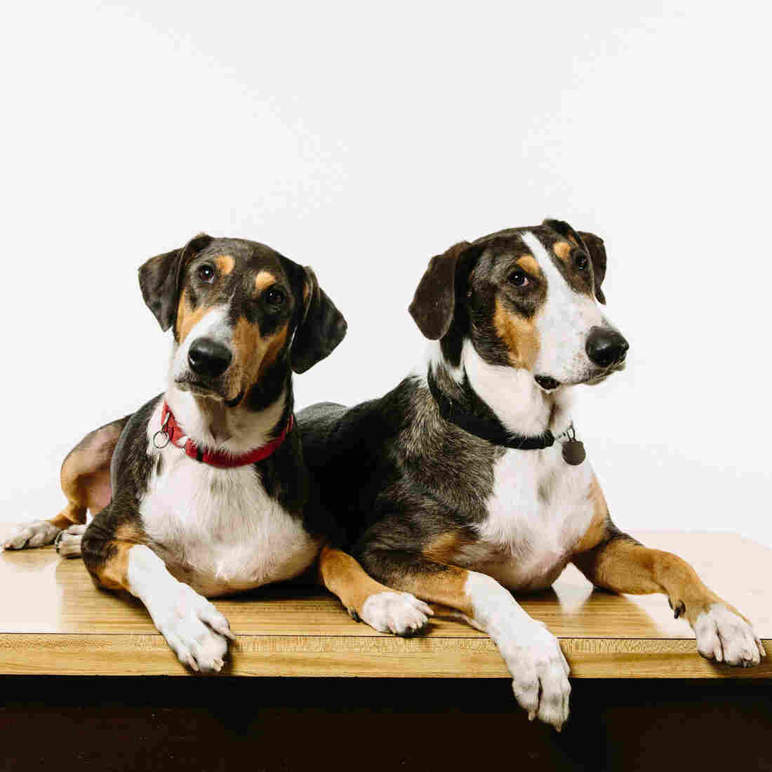 Cloning Your Dog, For A Mere $100,000
