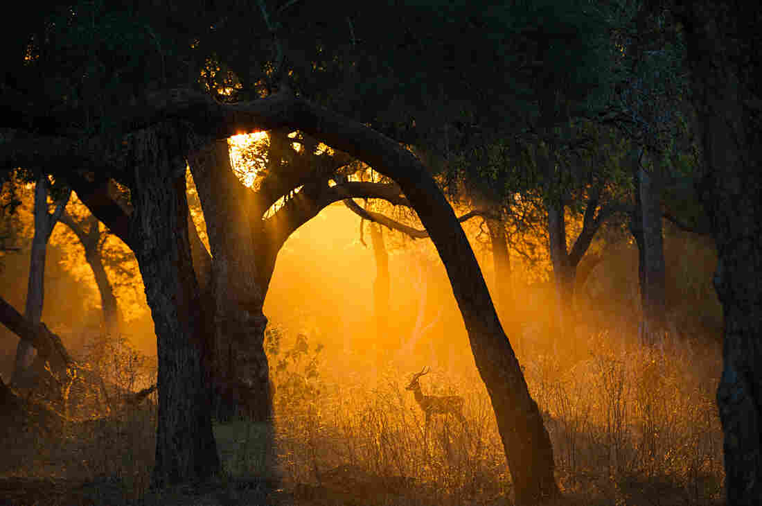 An impala strikes a pose under  a forest canopy in Zimbabwe.