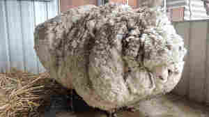 Woolly Mammoth: Shearer Saves Hugely Overgrown Sheep