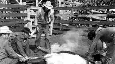 Seminole cowboys mark and brand a calf in the corral during roundup on Florida's Brighton reservation in 1950.