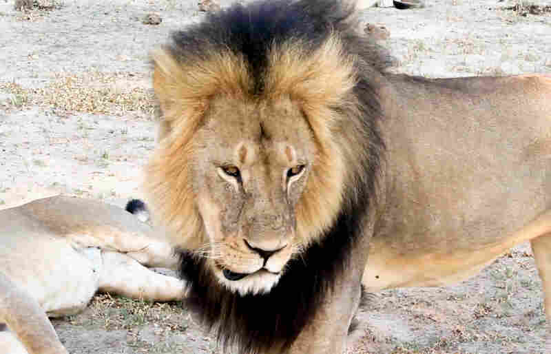 In this image taken from a November 2012 video, Cecil the lion is shown in Hwange National Park in Zimbabwe.