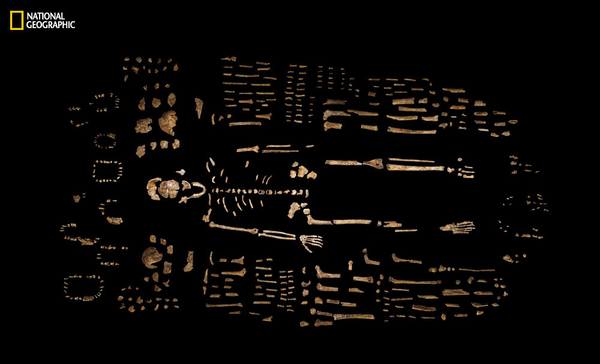 A composite skeleton of H. naledi is surrounded by some of the hundreds of other fossil elements recovered from the Dinaledi Chamber in the Rising Star cave in South Africa.