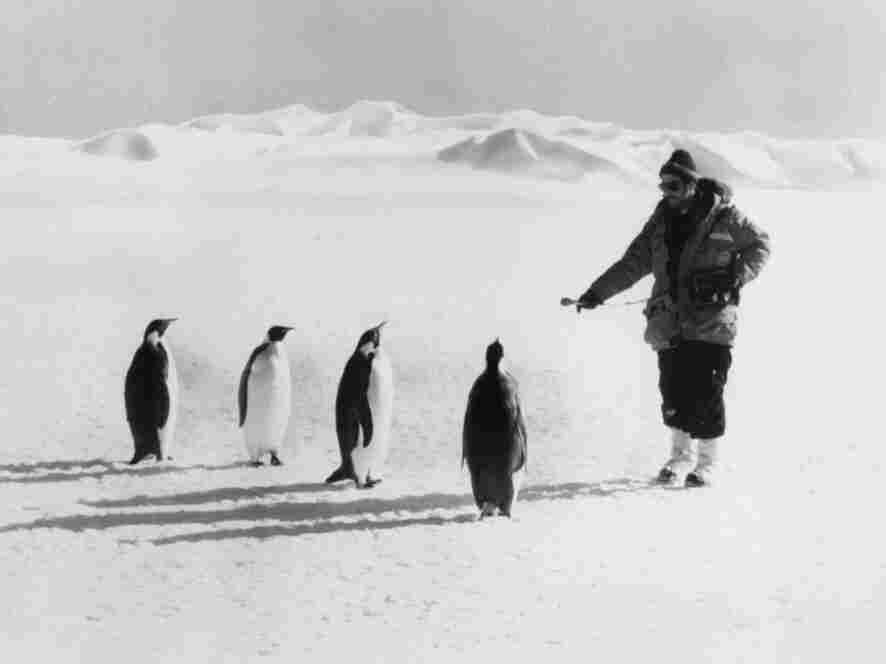 Former NPR science correspondent (and now host of Science Friday) Ira Flatow interviews a few penguins while reporting from Antarctica in 1979. NPR's environment reporting has increased and expanded greatly since.