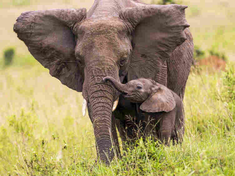 Elephant with its baby.