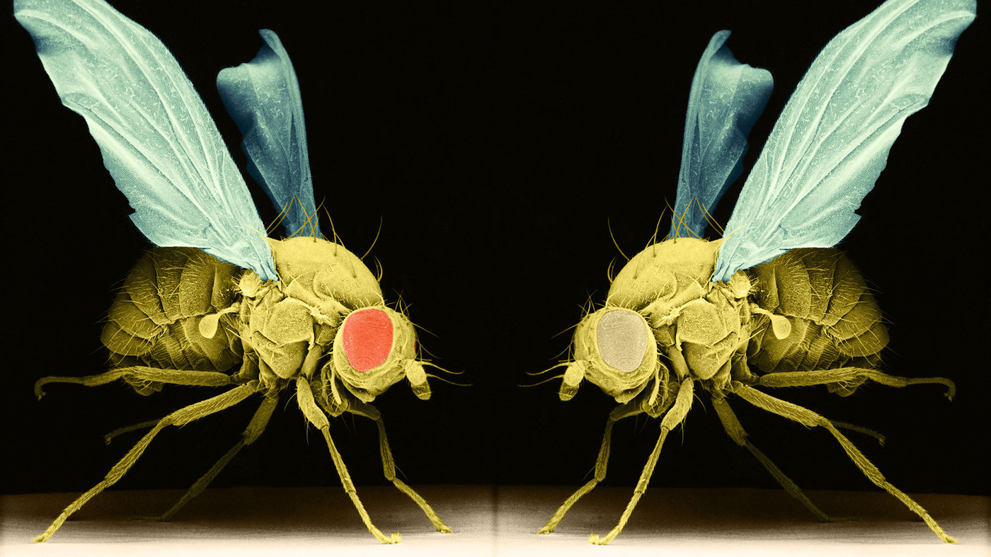 fruit flies research paper Read this science research paper and over 88,000 other research documents drosophila melanogaster introduction the purpose of the experiment that has been conducted is to breed drosophila.