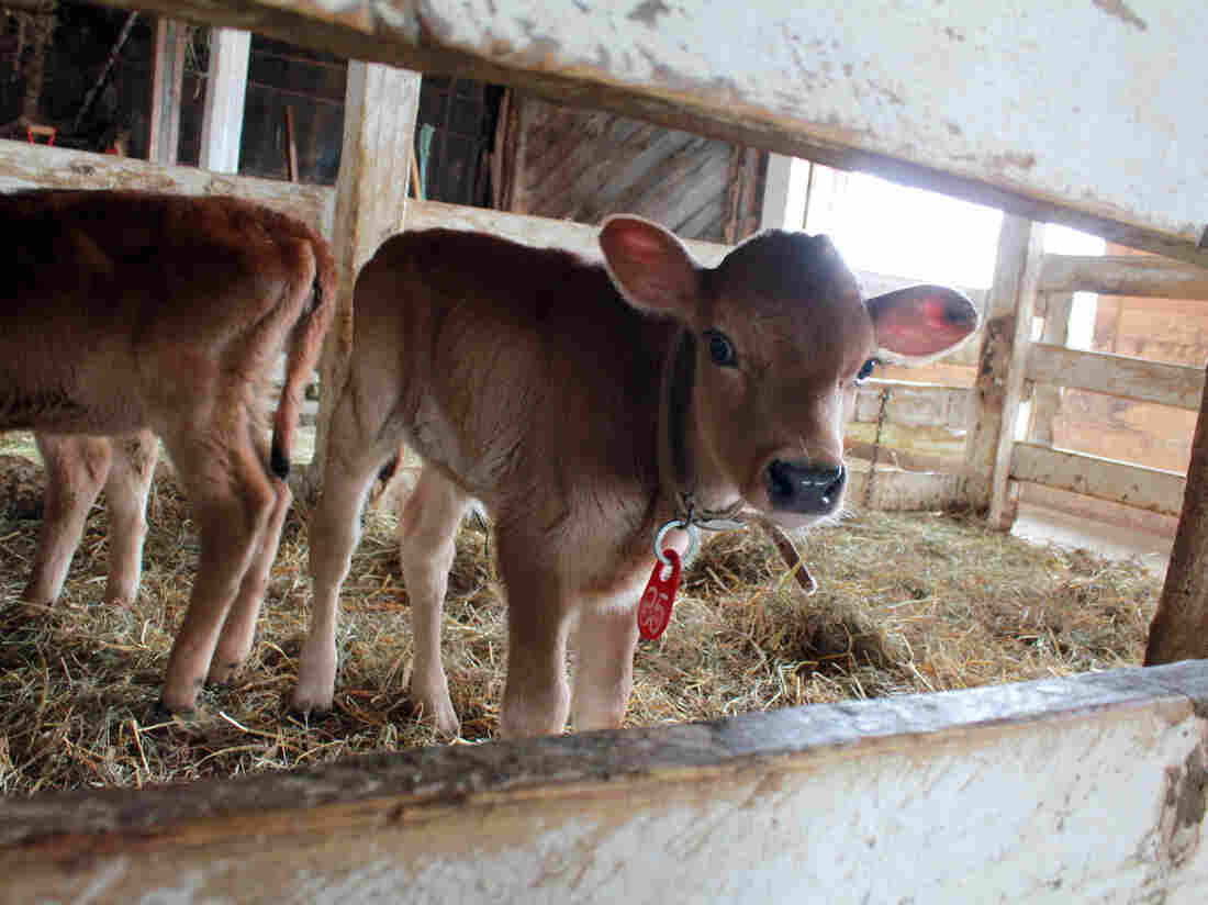 Calves at Butterworks Farm, an organic dairy farm in Vermont. Its owners are among the founding partners of Farmers to You, a startup that connects farmers in Vermont with customers in Boston.