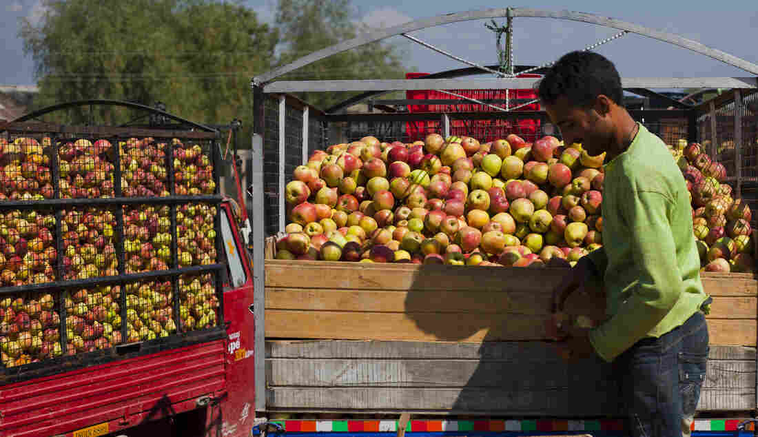 A fruit dealer in the Kashmir region of India separates rotten apples from freshly harvested apples.