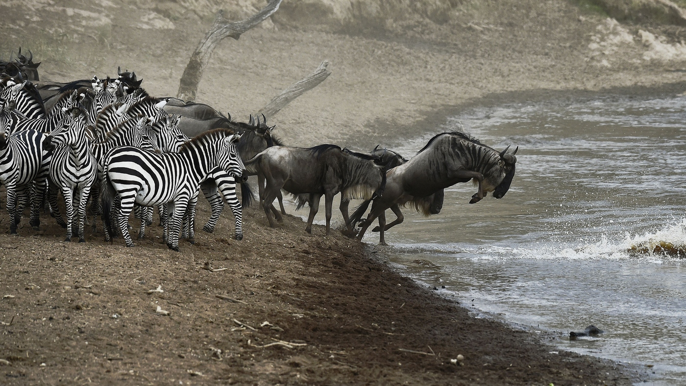 Who Gnu 2015 Wildebeest Migration Is Live On Video The