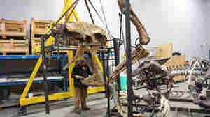 'Nation's T. Rex' Strikes A Rapacious Pose