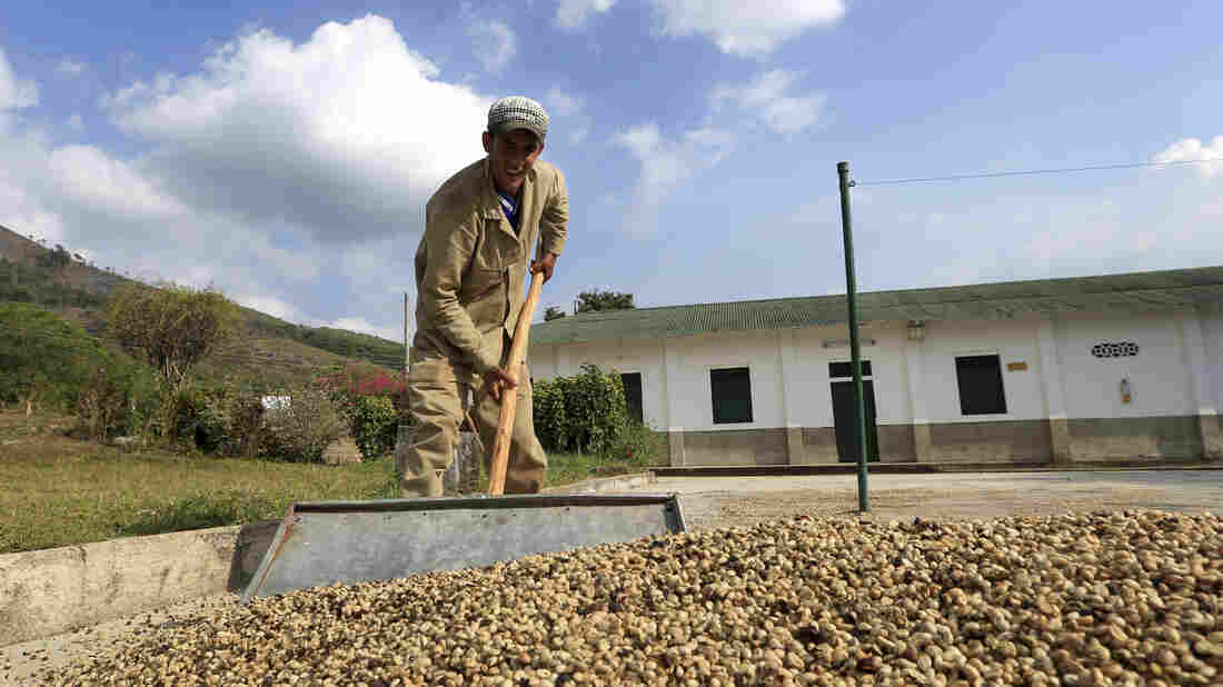 A worker collects dried coffee beans at a plantation in Pueblo Bello. The remote town, tucked in Colombia's Sierra Nevada, could be one of many where local elections determine the outcome of a possible peace.