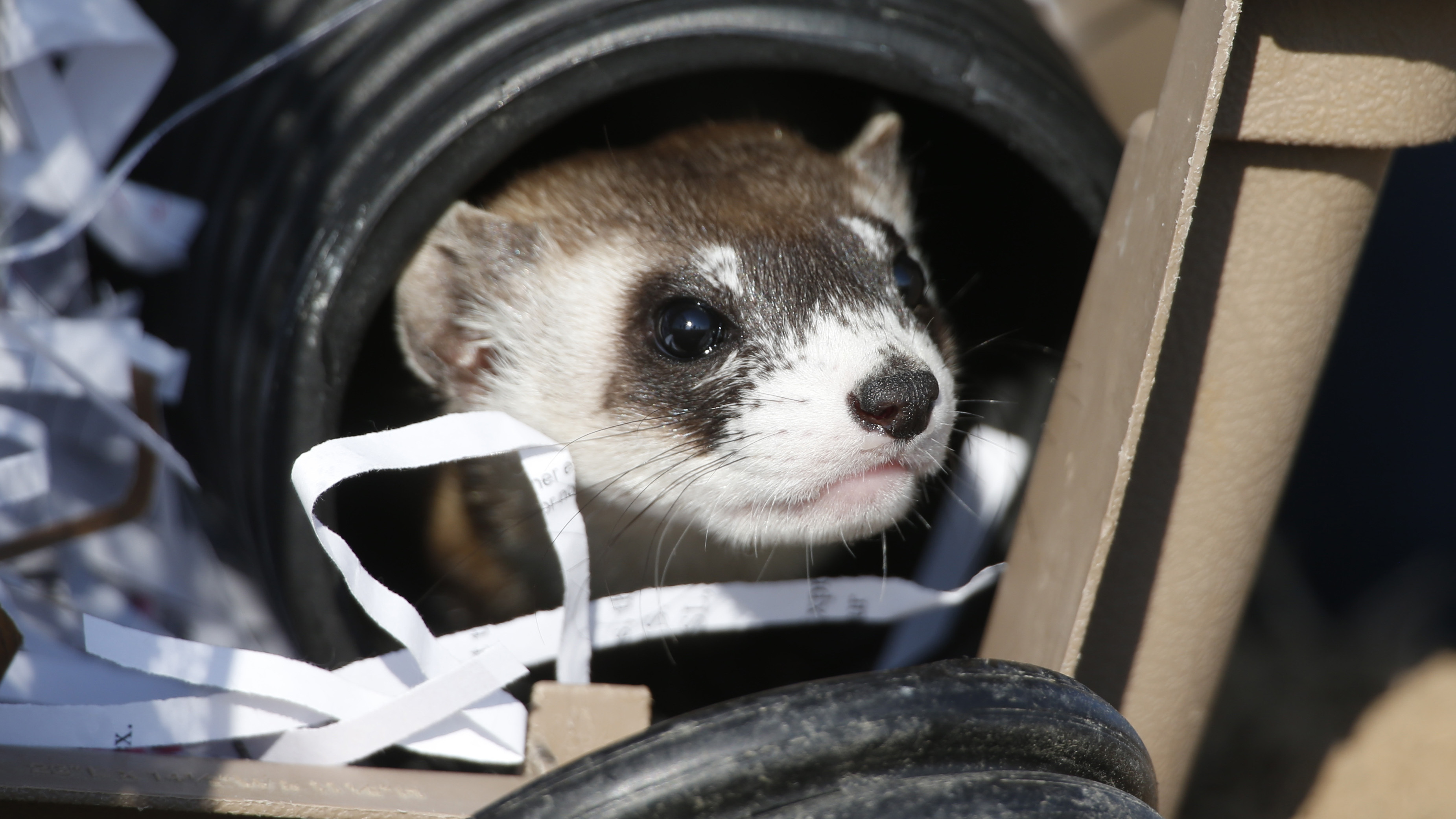 Black-Footed Ferrets Have 'Big Bad Teeth' And A New Home