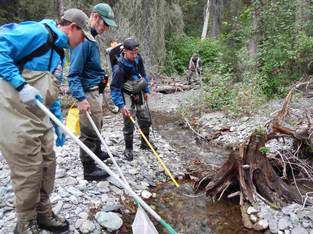 Biologists run a light current through a stream to temporarily stun juvenile trout they want to catch, and gently scoop them up with nets for the big move.