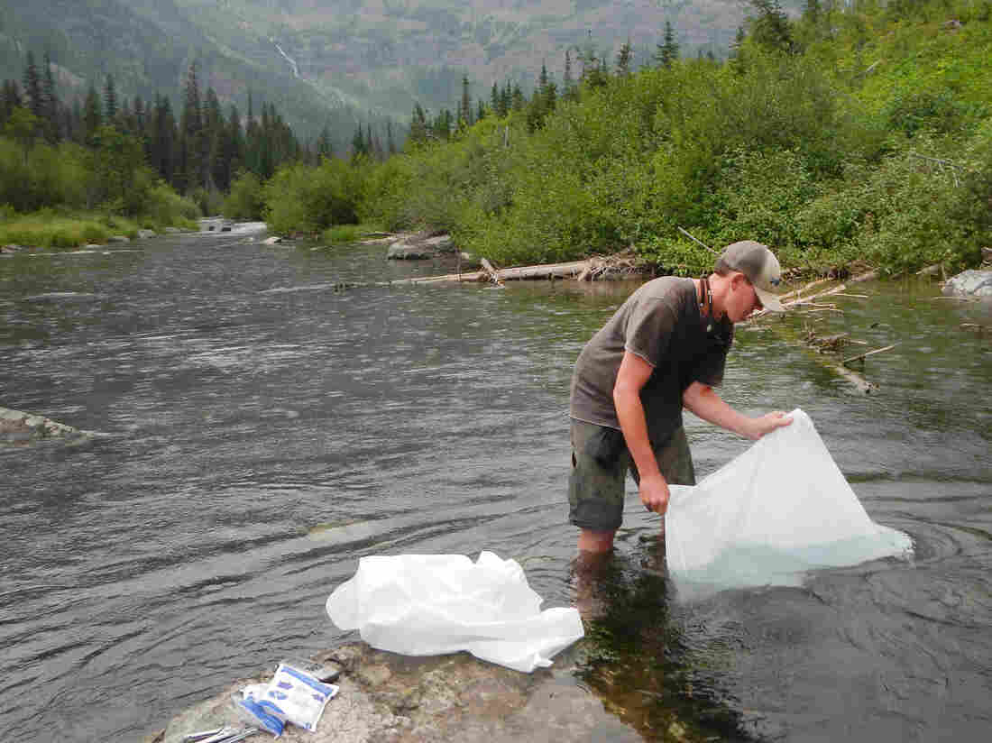 Fisheries biologist Jon McCubbins releases the first juvenile bull trout from 2014 into Logging Creek upstream of Grace Lake — the new bull trout Shangri-La.