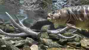 Scientists Try Radical Move To Save Bull Trout From A Warming Climate