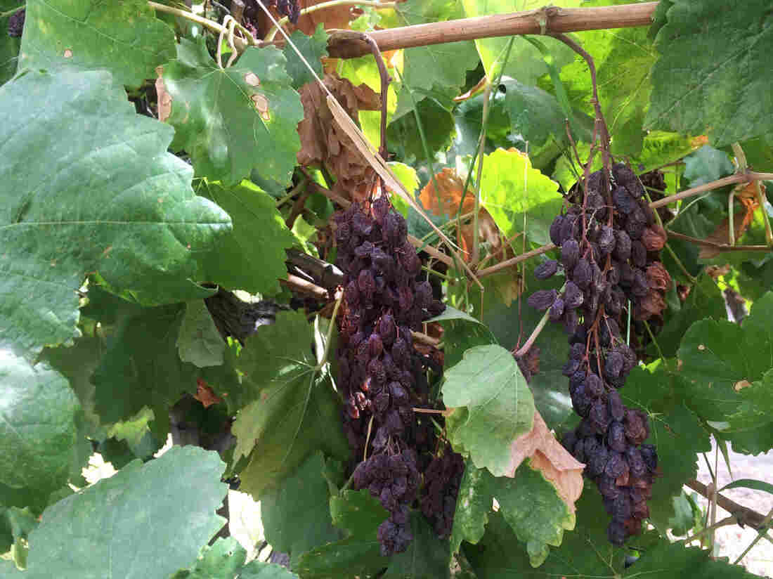 All grapes, including raisins, are labor-intensive to harvest. Now the raisin industry is looking to the Sunpreme to help dramatically reduce the need for workers.