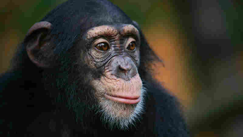 Are humans ex-apes?