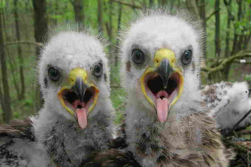 Baby spotted eagles open wide for the camera in the Polessye State Radioecological Reserve in Belarus.