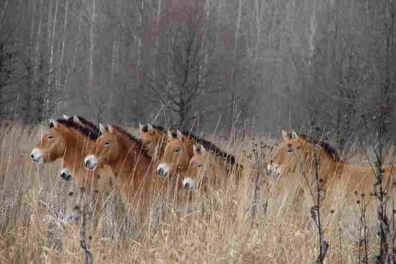 A herd of ponies in the brush. Researchers studying large mammals in the area around Chernobyl found robust population numbers.
