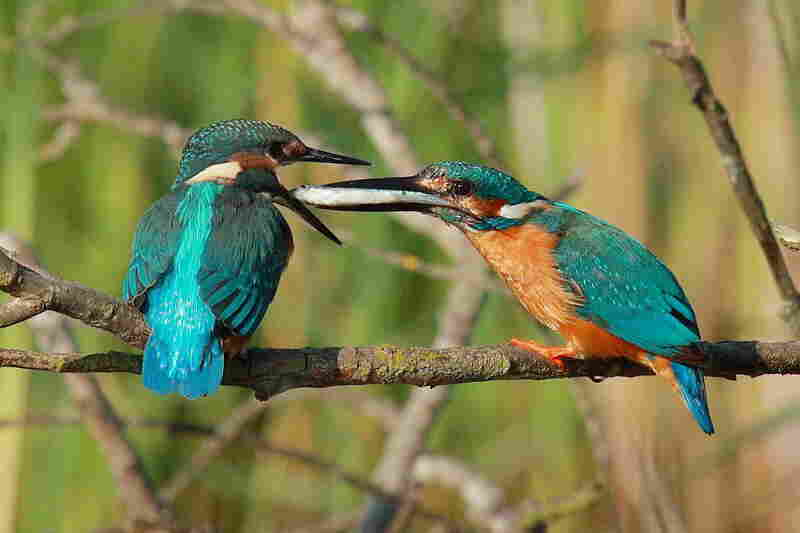 A pair of kingfishers exchange a meal.