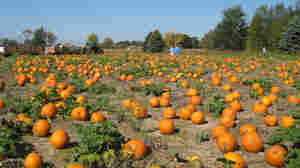 A Spooky Tale In Time For Halloween: Weather Cuts Into Pumpkin Crop