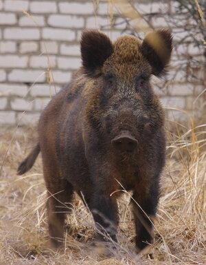 A wild boar stands for an informal portrait against the backdrop of an abandoned village in the Chernobyl exclusion zone. (Valeriy Yurko/Polessye State Radioecological Reserve)
