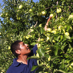 Inside The Life Of An Apple Picker