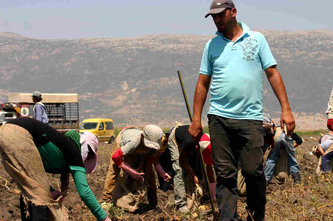"Foreman Nazir Yassine keeps an eye on a crew of Syrian refugee children picking potatoes. Refugees and children are not legally allowed to work in Lebanon, but landowner Fadel Yassine, Nazir's father, defends employing them: ""What am I going to do? Let them starve?"""