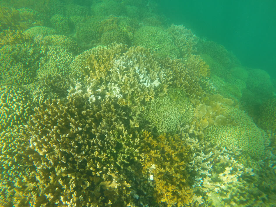 Partially bleached coral in Kaneohe, Hawaii. Coral reefs worldwide are at risk of damage from the suncscreen ingredient oxybenzone. (Hawaii Department of Land and Natural Resources/Dan Dennison/AP)