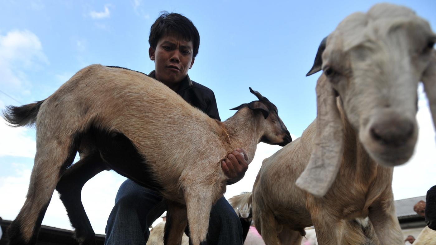 goats : NPR