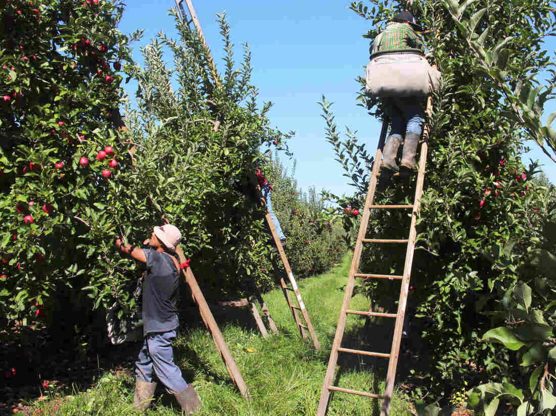 Apple pickers at work in Adams County, Pa. Come apple harvest time, workers come to this area by the thousands. Nationwide, an estimated 70,000 workers pick apples every fall.