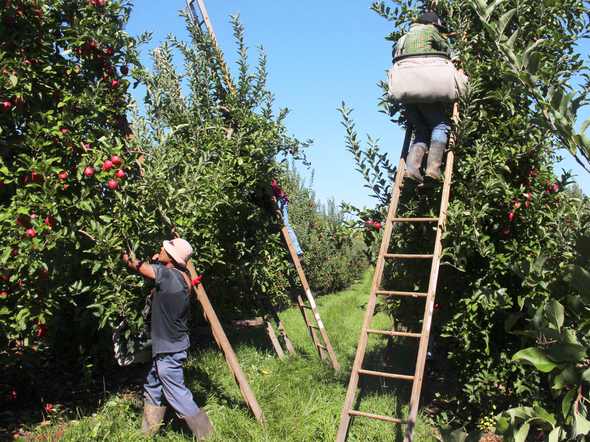 Inside The Life Of An Apple Picker The Salt Npr