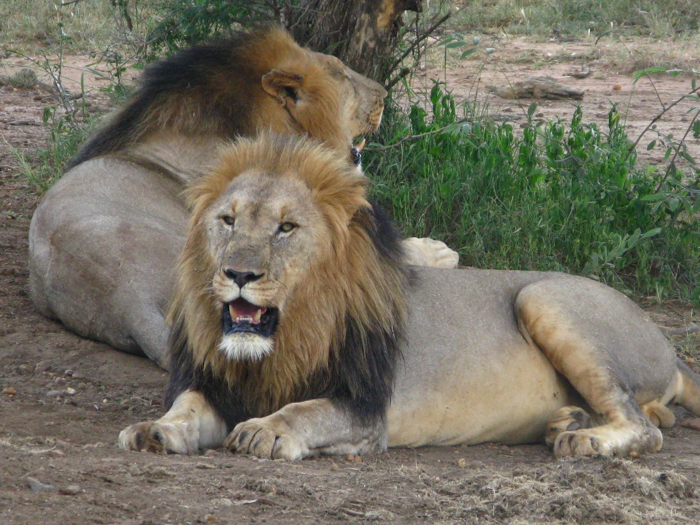Lions Quickly Disappearing In Much Of Africa, Study Says