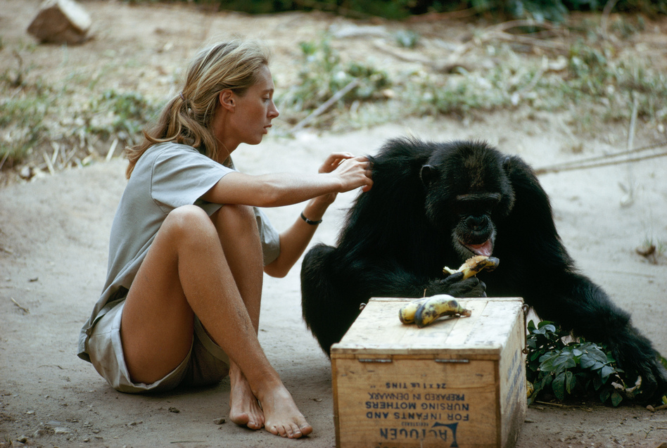 Jane Goodall grooms the coat of a chimpanzee as he eats a banana in this photo from 1974. (Hugo Van Lawick/National Geographic)