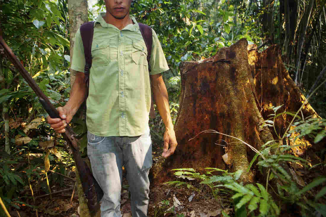 Rubber tapper Helenílson Felix stands near the stump of a tree that was felled by illegal logging. The tappers explained that this is how deforestation begins: The forest is thinned of its biodiversity, picked apart tree by tree.