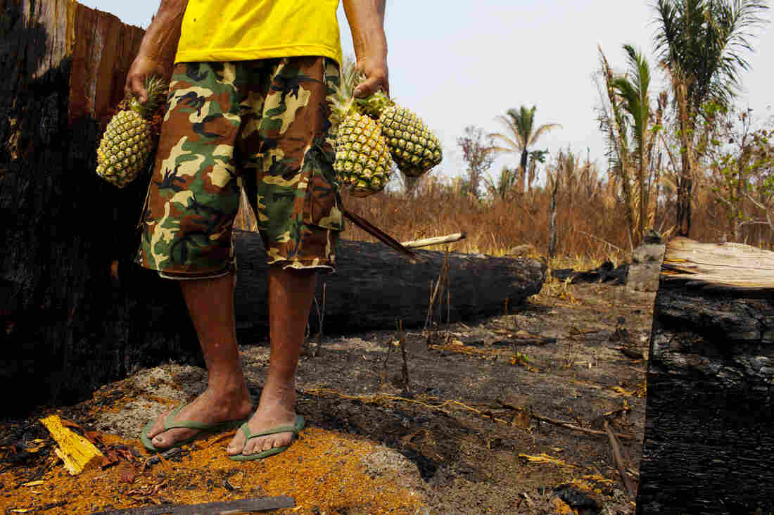"""Farmers like Amado Pedro da Silva, 63, who owns a small farm, believe you don't have to burn the land. When nearby farmers set fires, they inevitably spread and da Silva loses valuable crops like this pineapple field that was destroyed. """"If you live with the land, the land will protect you,"""" he says. """"If you poison it, the land will attack you."""""""