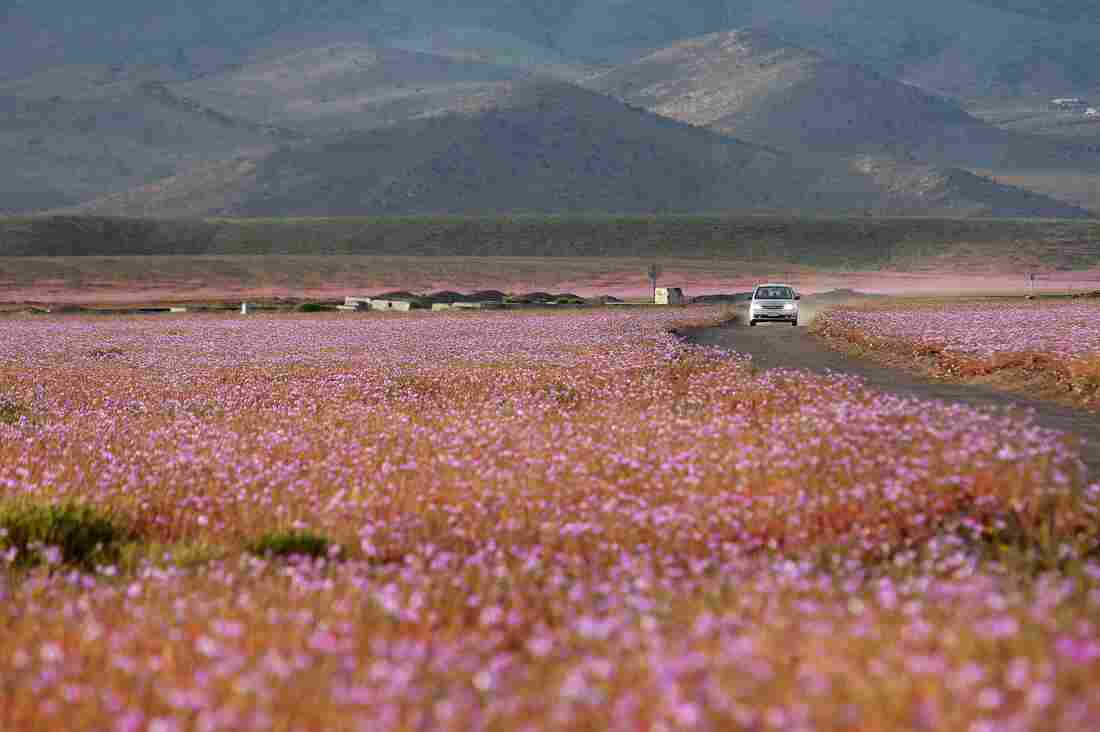 A car passes through a mallow field in the Atacama region of Chile on Oct. 21.